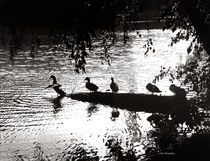 Ducks in a Row von © Joe  Beasley