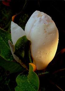 Magnolia-sunrise