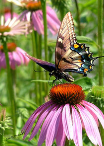 papillon sur la fleur von © Joe  Beasley