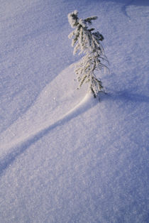 Tree in Snow by Wolfgang Kaehler
