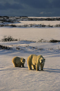 Polar Bear with Cub by Wolfgang Kaehler