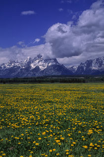 Grand Teton Mountains with Dandelions von Wolfgang Kaehler