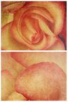 Spring-happybirthdayrose1-c-sybillesterk