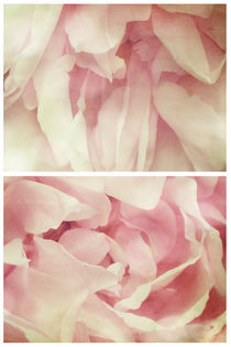 Spring - Roses - Palest of Pinks