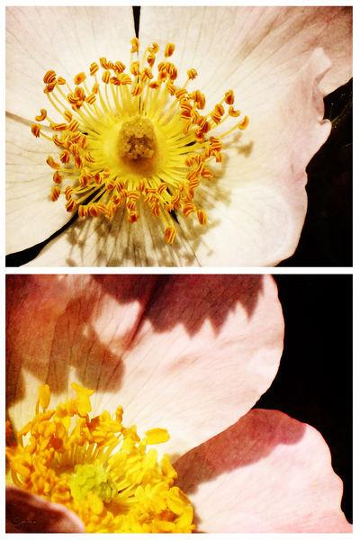 Spring-wildrosesb-c-sybillesterk