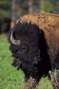 Bison Portrait by Wolfgang Kaehler