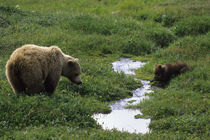 Denali National Park, Grizzly with Cub von Wolfgang Kaehler