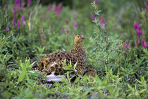 Denali National Park, Willow Ptarmigan by Wolfgang Kaehler