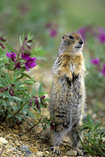 Arctic Ground Squirrel by Wolfgang Kaehler