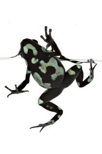 Poison dart frog, Hawai'i by eric röttinger