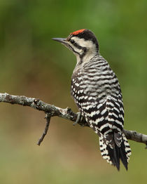 Ladder-backed Woodpecker (Picoides scalaris)  by Howard Cheek