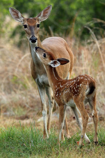 Watchful Mother - Loving Fawn by Howard Cheek