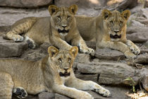 Three Lion Cubs, The Fort Worth Zoo von Peter Calvin