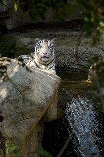 Snow Leopard von Peter Calvin