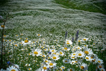 Chamomile meadow. by Anna Vesna
