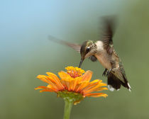 Summer Hummer   von Howard Cheek