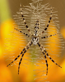 Argiope aurantia (female immature) by Howard Cheek