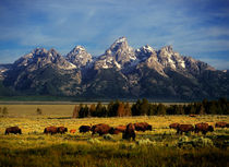 Buffalo in Teton Park by Leland Howard