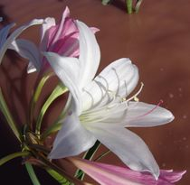 namibian wild flowers/lilly by james smit