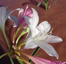 Crinum Paludosum wild flowers africa by james smit
