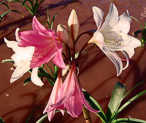 indigenous southern african flowers namibia by james smit