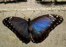 butterfly blue namibia africa by james smit
