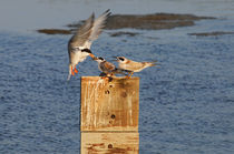 Tern Feeding Baby Birds, Bolsa Chica, California von Eye in Hand Gallery