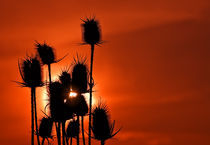 Thorny sunset by Radu Razvan