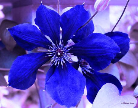 Indigo-flower