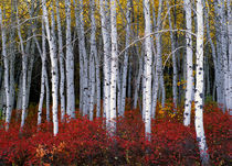 Dt6221-aspens-autumn-wasatch