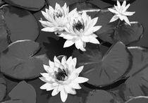 Monochrome Lilies by Milena Ilieva