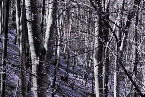Purple-forest