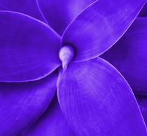 Purple Agave by Kathryn Gruber