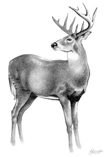 Whitetail Deer Stag by Patricia Howitt