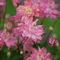 Flower-columbine-16x20-1024