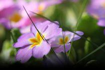 Primel violett by Bea  Gaberthüel