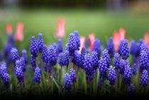 Blumen violett, rot