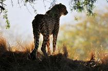 Cheetah von Eye in Hand Gallery