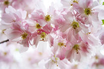 Pink Blossoms von Tabita Harvey