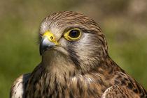 Bird of prey. by Neil Pybus