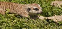 Meerkat by Neil Pybus