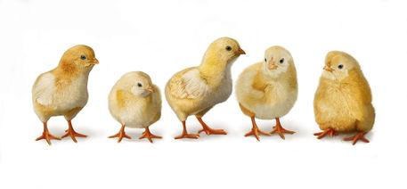Five-chicks-on-white-11x23