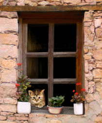 Tuscan-kitten-in-a-window-20x24