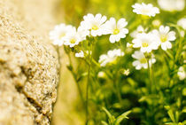 flower in the stone von Margo Khalys