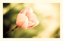 delicate tulip by Margo Khalys