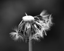 Pusteblume, schwarz-weiss, makro von Bea  Gaberthüel
