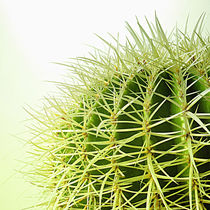 Echinopsis grussoni by Miona P