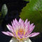 Water-lily-v1