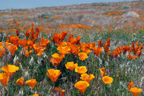 California Poppies Near and Far von Jennifer Nelson