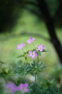 Geranium yesoemse var. nipponicum by Yukio Otsuki